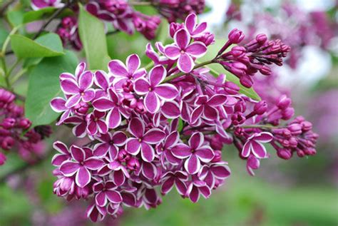 lilacs flowers flowers for flower lovers lilac flowers