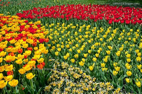 tulips blooming at longwood gardens gardens pinterest