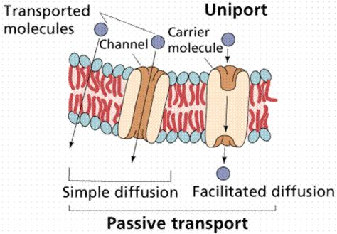 passive transport diagram physiologyproject cells interaction with environment