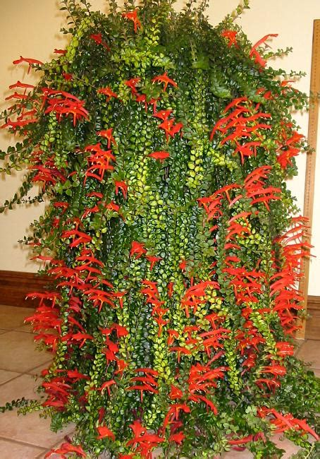 cascading indoor plants columnea cascading beauty cactus y suculentas