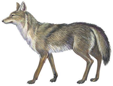 coyote clipart stock illustration coyote canis latrans