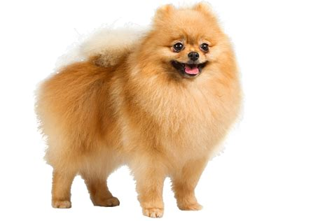 what do pomeranians look like 25 breeds that look like toys wow amazing