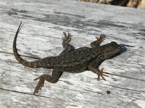 Western fence lizard john rakestraw