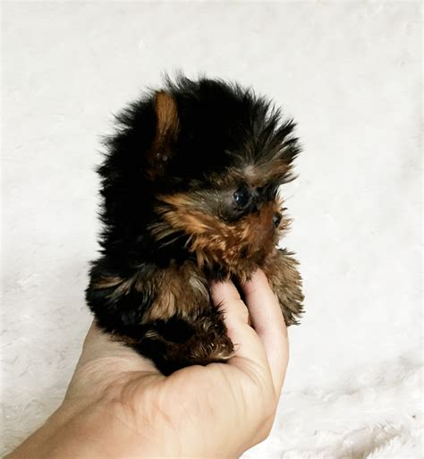 teacup yorkie for sale los angeles micro teacup yorkie puppy for sale los angeles breeder iheartteacups