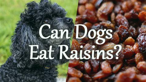 can dogs raisins can dogs eat raisins pet consider