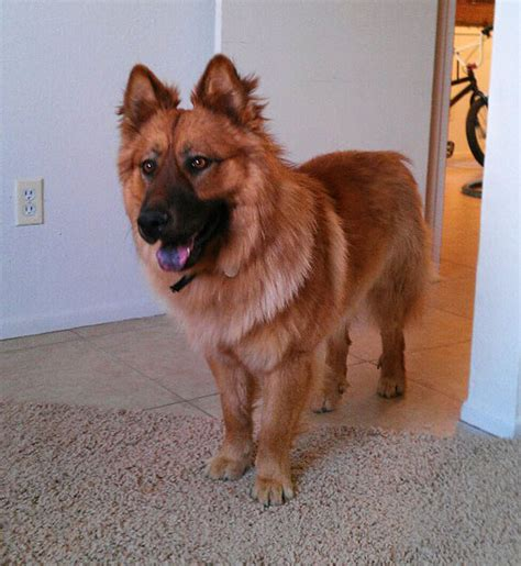 chow shepherd puppies these 25 cross breed dogs will make you fall in with mutts bored panda