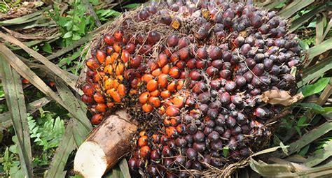 Minyak Kelapa Sawit Per Kg berita sawit pupuk sulit didapat produksi sawit rakyat