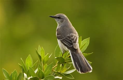 mockingbird wikipedia