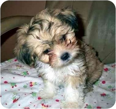 shih tzu lhasa apso mix information oslo adopted puppy los angeles ca lhasa apso shih tzu mix