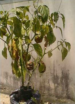 petani asam galing mengenal penyakit  tanaman cabe