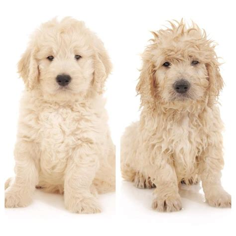 goldendoodle puppy thin coat best 25 goldendoodle grooming ideas on