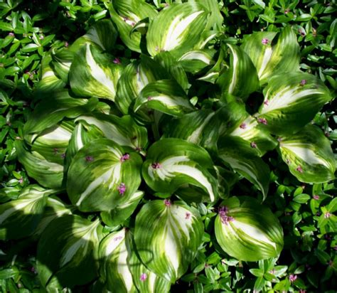 how to plant and care for shade loving hostas