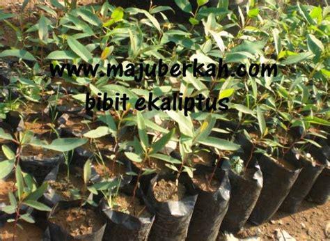 Bibit Ekaliptus bibit ecaliptus bibit tanaman ecaliptus jual bibit tanaman ecaliptus bibit tanaman ecaliptus