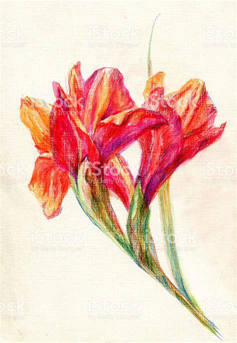 gladiolo fiore gladiolo fiori matite colorate immagini vettoriali stock