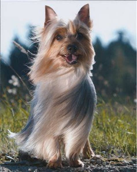 silkshire yorkie silky terrier gch bar b s mist topias dogs beautiful worth it