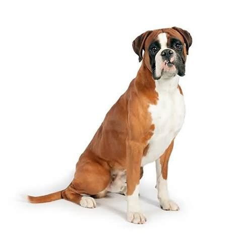 brown boxer puppy brown boxer puppies www imgkid the image kid has it
