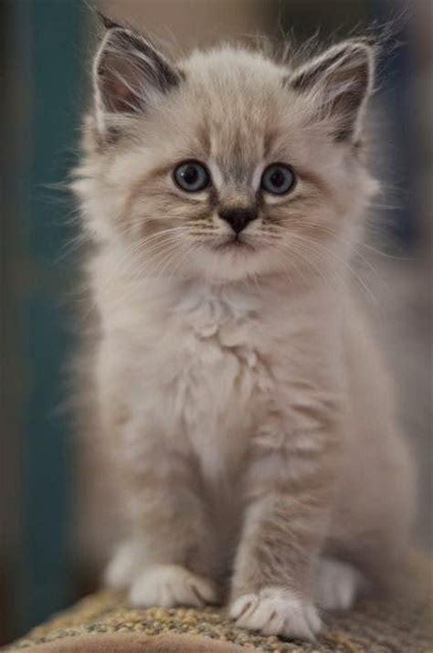 friendly breeds 214 ver 1 000 bilder om katter p 229 pinterestmaine coon kittens och ragdoll katter