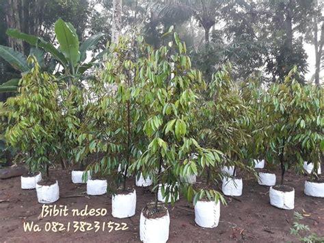Penjual Bibit Alpukat Unggul tanaman buah unggul shopping retail magelang