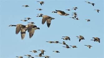 why do migrating canada geese sometimes fly in the quot wrong
