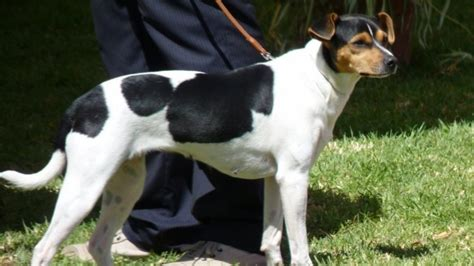 brazilian terrier info puppies personality  pictures