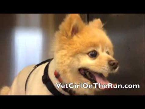 pomeranian collapsed trachea pomeranian to sing such a talented cutie funnydog tv