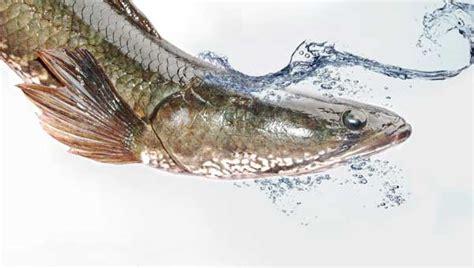 Ikan Gabus Alam mengenal dan mendalami mengenai ikan gabus