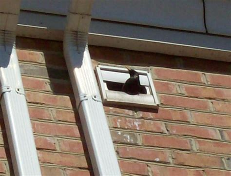 house vents bird removal md dc northern va bird trapping house attics vents