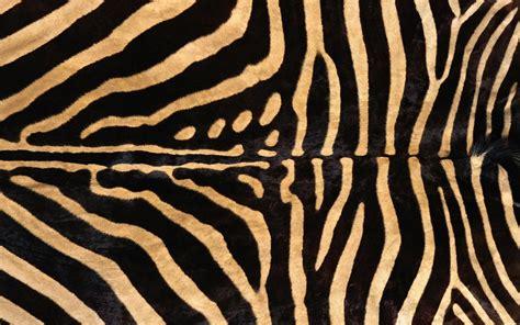 google wallpaper zebra zebra background 183 download free stunning hd wallpapers