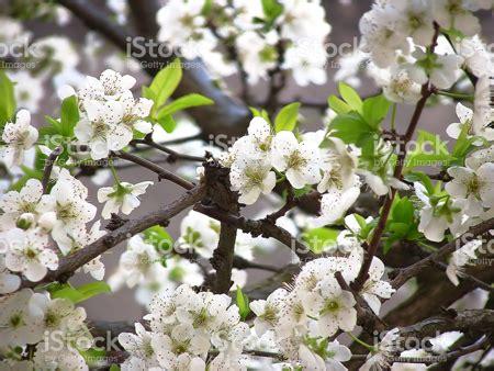 fiori di susino primavera susino pieno di fiori viaggiarte