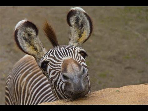 americas funniest animal clips animals afv youtube