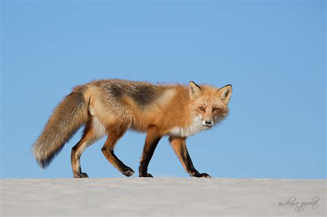 is a fox a fox a creative adventure photography by ippolito