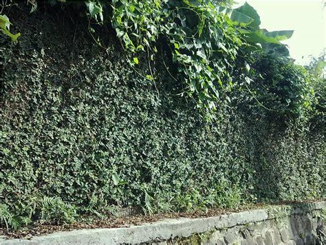 Dollar Rambat Dinding Tanaman Dolar Rambat menyiasati tilan dinding eksterior dengan tanaman