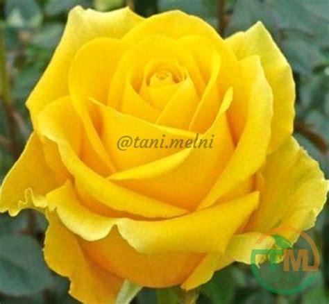 jual bibit tanaman hias bunga mawar kuning murah  lapak