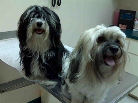 havanese housebreaking problems a visit to the vet