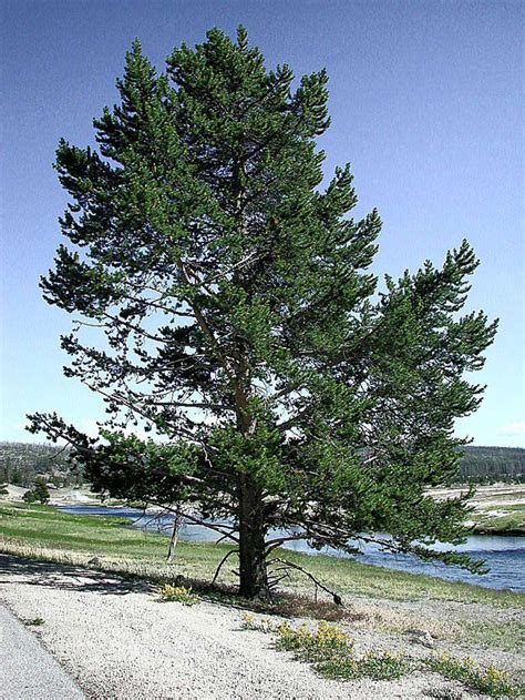 pine tree pictures