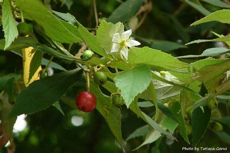 cherry tree no fruit jamaica cherry tree flower and fruit from thailand flickr