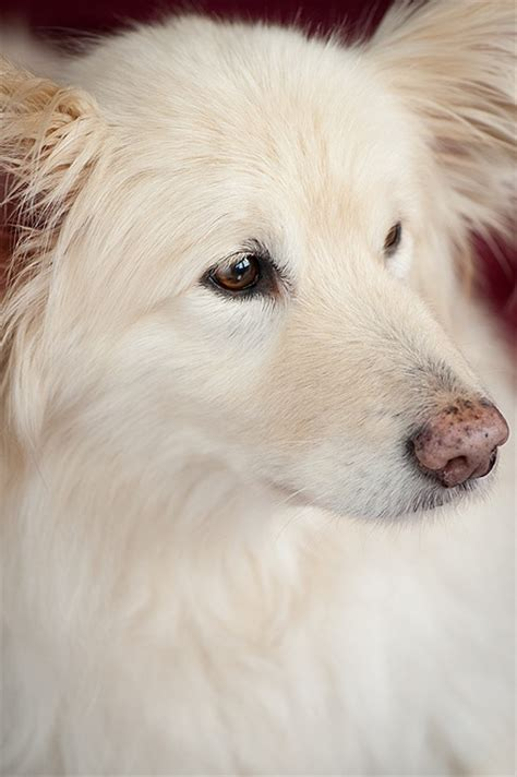 samoyed golden retriever mix ellis border collie samoyed golden retriever mix beautiful breeds