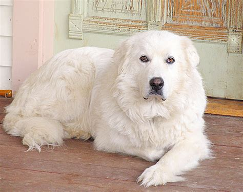 big fluffy breeds big fluffy dogs breeds breeds