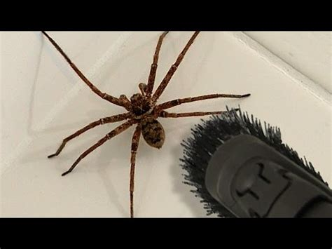 giant spider in bathroom big spider bathroom daddy screamer arachnophobia warning