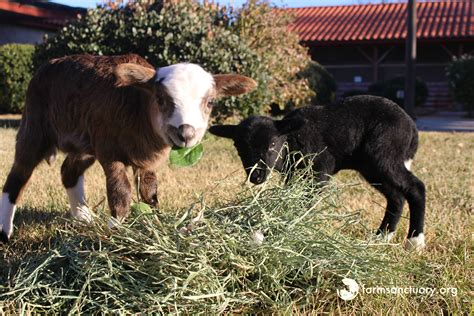 farm sanctuary farm sanctuary blog
