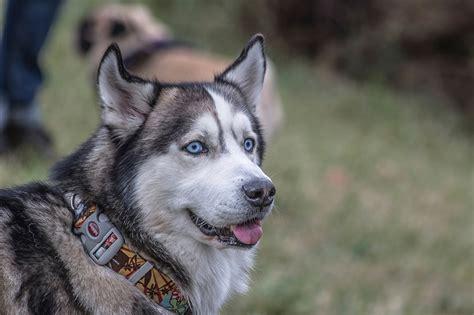 papeis de parede cao husky siberiano malamute  alasca