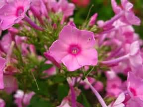 file pink flowers bloom forestwander     wikimedia commons