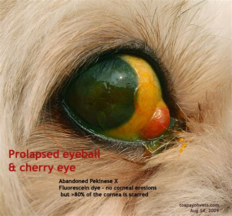 cherry eye shih tzu shih tzus eye corneal ulcerations and injuries what is a breeds picture