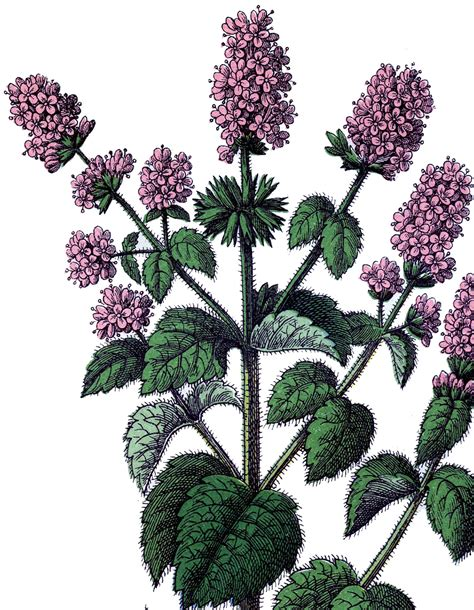 vintage mint image herbs  graphics fairy