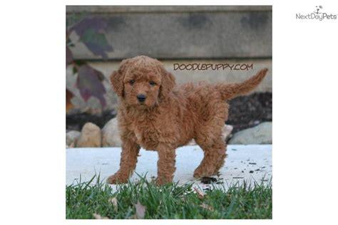 goldendoodle adoption indiana goldendoodle for sale for 950 near lafayette west