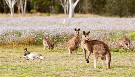paroo premium kangaroo