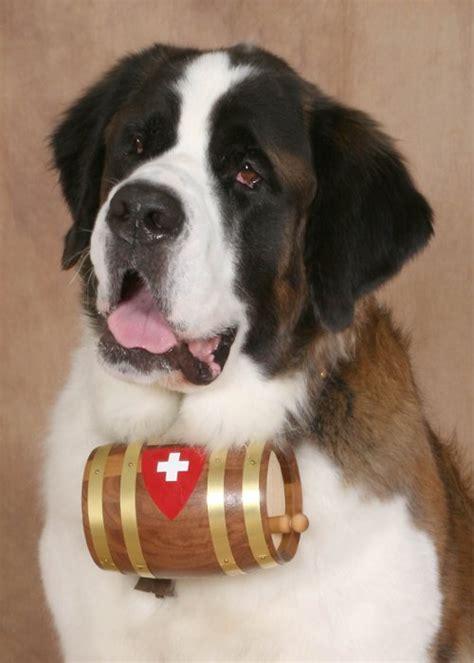 st bernard puppies rescue bernese mountain st bernard mix dogs animal