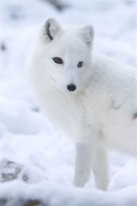 1000 Images About Arctic Animals On Arctic - 1000 images about white cremello perlino on