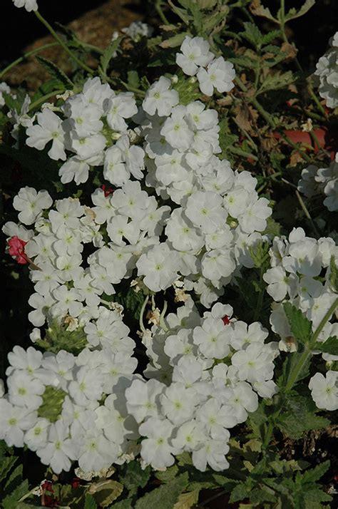 verbena shrub with white flowers empress white verbena verbena empress white in