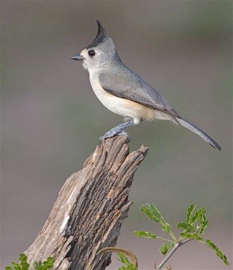 black crested titmouse redorbit